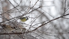 Little birds sit on branches, cold, falling snow and rain Stock Footage