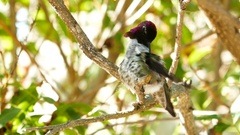 Beautiful purple head Magnificent hummingbird resting Stock Footage