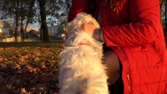 Cutte funny puppy. Woman play with bichon dog and cares. Funny puppy. Autumn Stock Footage