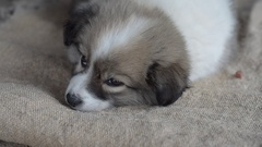 Little fluffy puppy falls asleep on a piece of burlap. Close-up Stock Footage