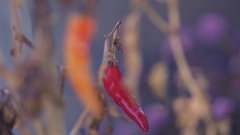 Red chilli hanging on the plant Stock Footage