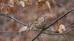 Brown thrasher (Toxostoma rufum) is the Georgia state bird. Stock Footage