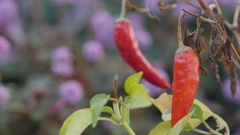 Red chilli hanging on the plant 4k Stock Footage