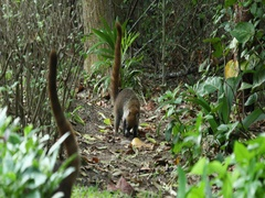 Mexico jungle wildlife Coati mundi animal eating DCI 4K Stock Footage
