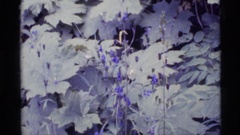 1977: bright periwinkle-colored blooms against a backdrop of grey-green foliage Stock Footage