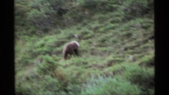 1977: animals are searching for a food in the large mountain area ALASKA Stock Footage