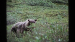 1977: bears prowling through tall grass in the wilderness ALASKA Stock Footage