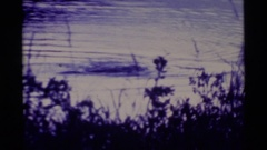 1977: the topmost portion of two animals seen swimming in the water in low light Stock Footage