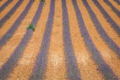 Lavender flower blooming scented fields in endless rows. Valensole plateau,.. Stock Photos
