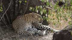 Leopard Scratches Stock Footage