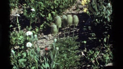1977: five green buds on stems sit surrounded by flowers SAPPHIRE LAKE MONTANA Stock Footage
