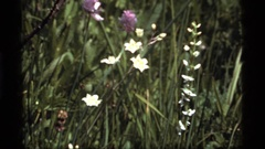 1977: delicate meadow flowers moving in a breeze SAPPHIRE LAKE MONTANA Stock Footage