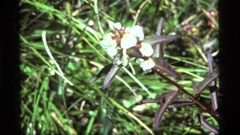 1977: a large fly walks around on the head of a white flower SAPPHIRE LAKE Stock Footage