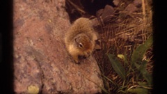 1977: close up of a squirrel walking on a rock in a field. SAPPHIRE LAKE MONTANA Stock Footage
