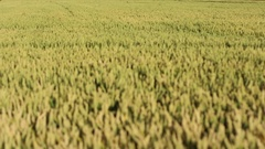 Grains of wheat on wind shallow depth of field Stock Footage
