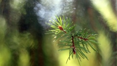 Pine branch in bright summer day in extreme close up Stock Footage