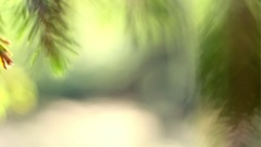 Spruce branches in the woods extreme close up Stock Footage
