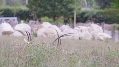 4K Scimitar-horned oryx grazing at wildlife park with white rhinos in background Stock Footage