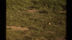 1979: marmots in a field in front of many den openings CANADA Arkistovideo