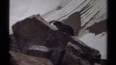1979: a panoramic view of a animal that is perched upon a large rock  Stock Footage