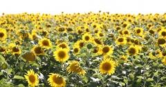 Young Shirtless Farmer Man Walking Sunflower Field Plain Torrid Day Summer Heat Stock Footage