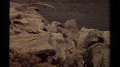 1979: bird jumping around rocks next to a river. BRITISH COLUMBIA CANADA Stock Footage