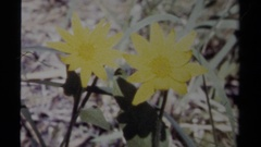 1979: yellow flowers and lavender flowers BRITISH COLUMBIA CANADA Stock Footage