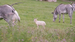 4K Zebra & scimitar-horned oryx with calf grazing on grass at wildlife park Stock Footage