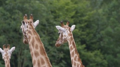 4K Family of giraffes at wildlife park. No people. Stock Footage