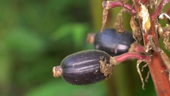 Close-up of a pod of the Cardamom plant (Elettaria cardamom).  Stock Footage