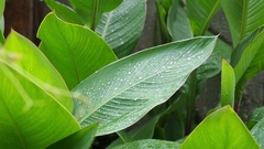 The large green leaves close-up small waves on a wind Stock Footage