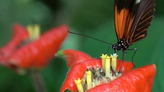 Slow motion shot of a Heliconid butterfly Stock Footage