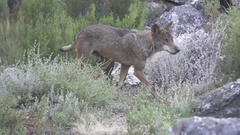 Slow motion of hurt wolf walking, side view, flat color Stock Footage