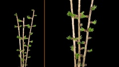 Time-lapse of growing larch tree branch in RGB + ALPHA matte format Stock Footage