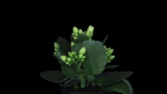 Time-lapse of opening white kalanchoe flower with ALPHA channel Stock Footage