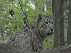 Close Snow leopard (Panthera uncia) looks around in the forest. Stock Footage