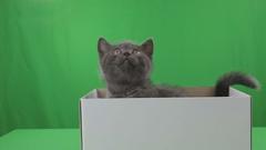 Beautiful little kitten Scottish Fold in box on Green Screen Stock Footage