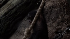 Young Monkey Bonobo playing and climbing Stock Footage