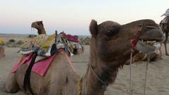 Camel in Jaisalmer Desert Stock Footage