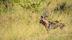 African Wild Dog Yawning Stock Footage