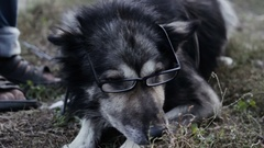 Old wise dog in glasses Stock Footage