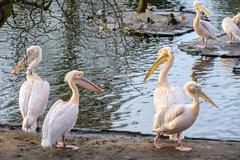 A group of white pelicans Stock Photos