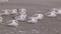 Seagulls pinned to the ground in severe wind storm Stock Footage
