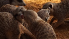 Many meerkat playing between them to bite and crazed Stock Footage