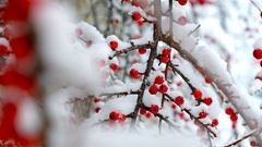 Wild bush with red berries laden with snow. Beautiful Christmas background Stock Footage