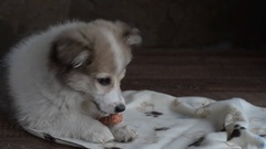 The little puppy was lying on a towel and eats a delicacy for dogs, a bone with Stock Footage