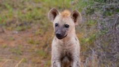 Hyena juvenile curious Stock Footage