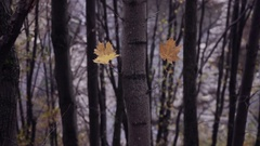 Two lonely leaves at maple tree Stock Footage