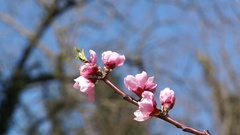 Delicate spring flowers, wild cherries on the branch of a cherry tree. Cherry Stock Footage