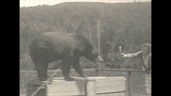 Vintage 16mm film, 1928 chained black bear drinking beer, cruel and inhumane Stock Footage